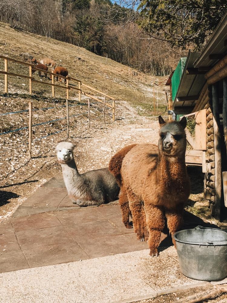 Alpaca al Santuario Madonna della Corona